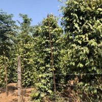 Bán rẫy tiêu 18ha và cây ăn trái chỉ có 6 tỉ, liên hệ 0984003893