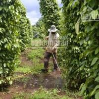 Chính chủ bán gấp đất rẫy cafe ở Gia Lai, giá rẻ cực kỳ