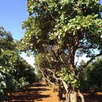Gia đình cần bán lô đất Gia Lai 50x230m, DT 10.000m2, SHR, trồng tiêu điều cà phê - LH 0938018295